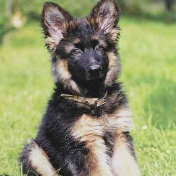 German Shepherd For Sale Orlando