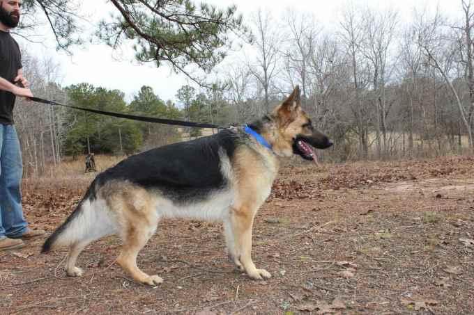 German Shepherd Georgia