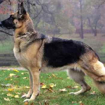 German Shepherd Good Guard Dog