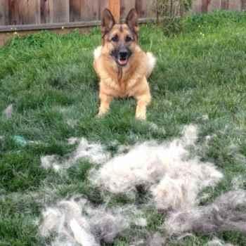 German Shepherd Hair Brush