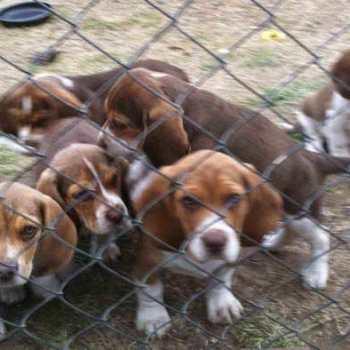 Copper Nose Beagle