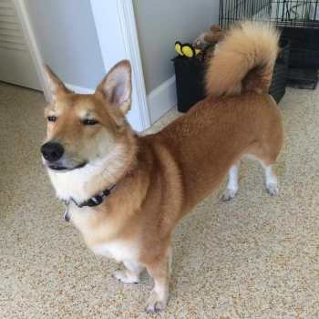 Corgi Mix Dog