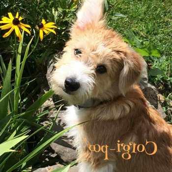 Corgi Poodle Puppies For Sale