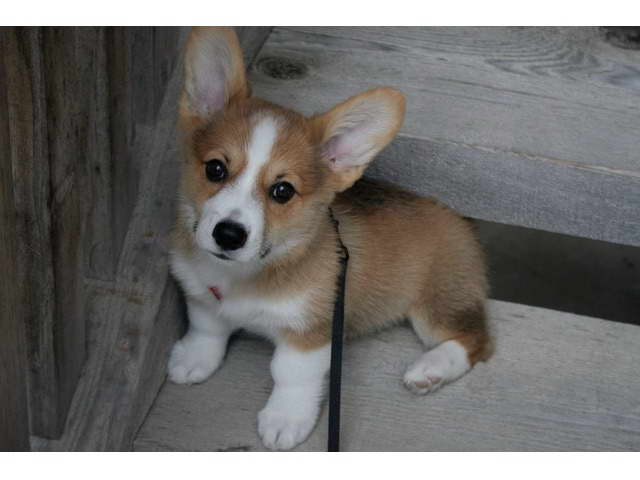 Corgi Puppies For Adoption Near Me