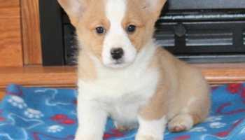 Beagle Puppies For Sale Craigslist | Pets and Dogs