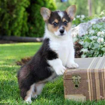 Corgi Puppies For Sale In Massachusetts