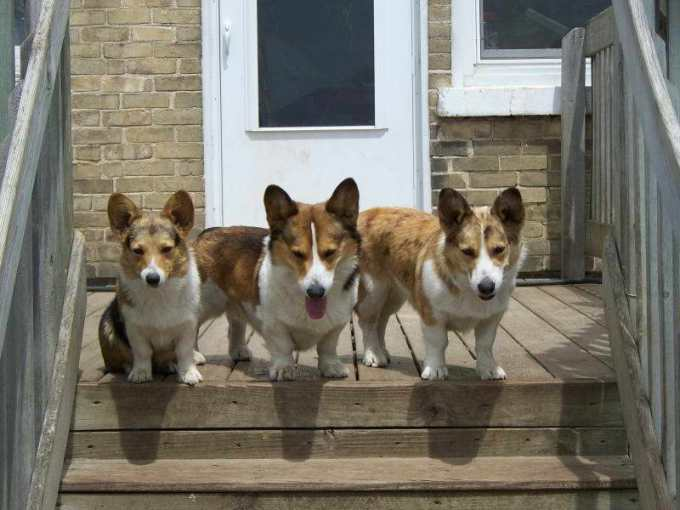Corgi Puppies For Sale In Wisconsin