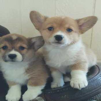 Corgi Puppies For Sale Montana