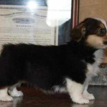Corgi Puppies For Sale Va