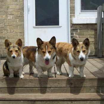 Corgi Puppies For Sale Wi