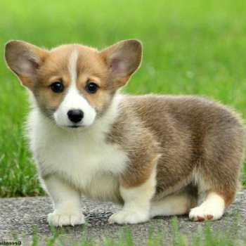 Corgi Puppy Adoption