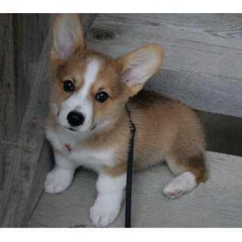 Corgi Pups For Adoption