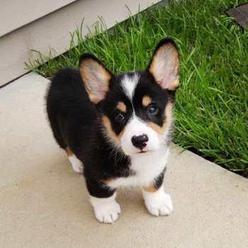 Corgi Tri Colored Puppy