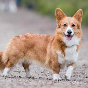 Corgi With Tail For Sale
