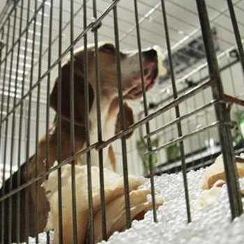 Crate Training A Beagle