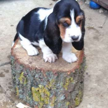 Cute Basset Hound Puppies For Sale