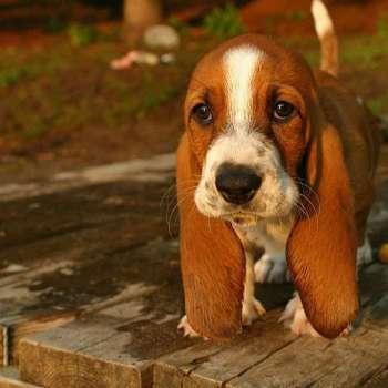 Cutest Basset Hound Puppies