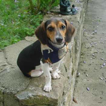 Dachshund Beagle Mix For Adoption