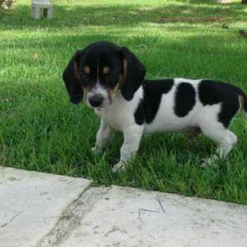 Dachshund Beagle Mix For Sale