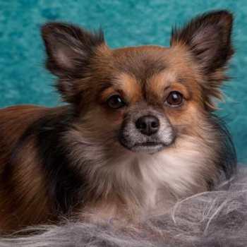 Deer Head Chihuahua Long Hair