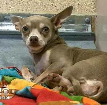 Denver Chihuahua Rescue