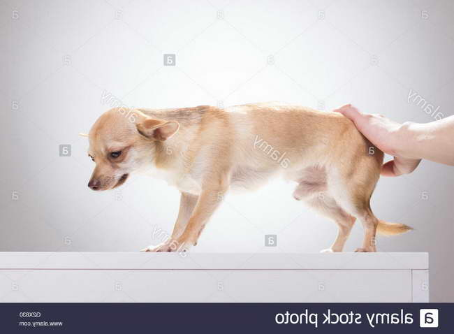 depressed chihuahua pets and