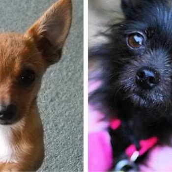 Dog Chihuahua Mix