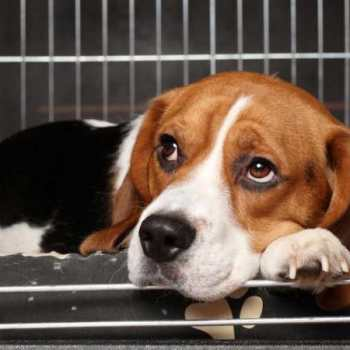 Dog Crate For Beagle