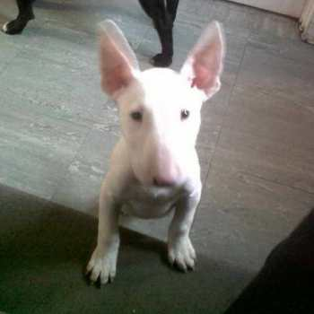 English Bull Terrier Puppies For Sale Near Me