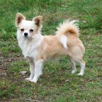 Female Long Haired Chihuahua
