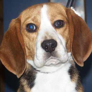 Florida Beagle