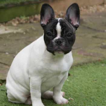 French Bulldog Terrier Mix