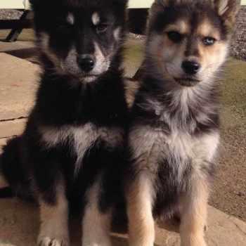 German Shepherd Huskies For Sale