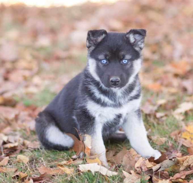 German Shepherd Husky Mix For Sale Mn