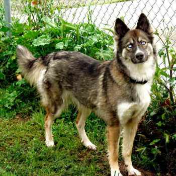 German Shepherd Husky Mix Price