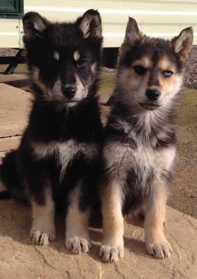 German Shepherd Husky Puppies For Sale