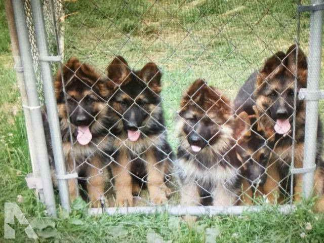 German Shepherd Litter For Sale