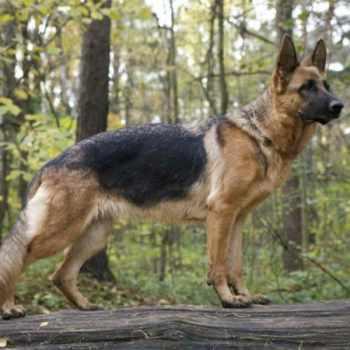 German Shepherd Miami