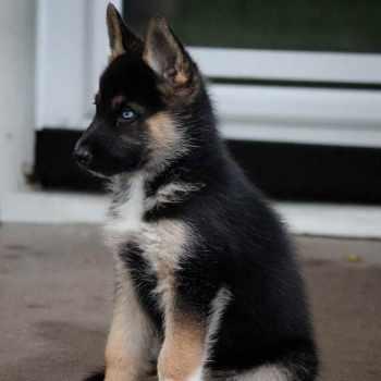 German Shepherd Mixed With Husky Puppies