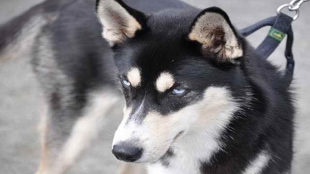 German Shepherd Mixed With Husky