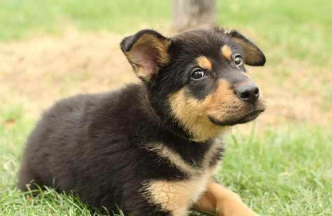 German Shepherd Mutt Puppies