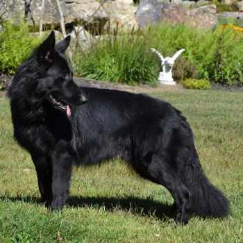 German Shepherd Nh