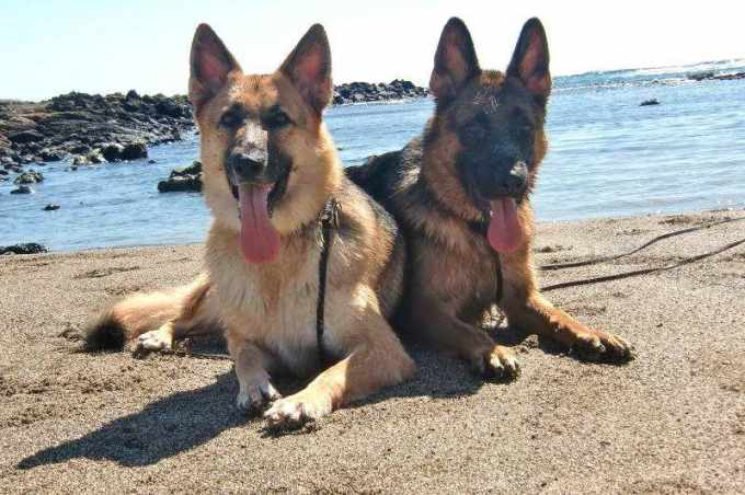 German Shepherd Oahu