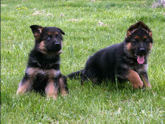 German Shepherd On Sale