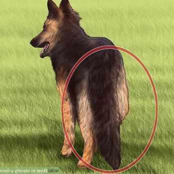 German Shepherd Original Breed