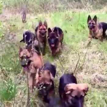 German Shepherd Pack