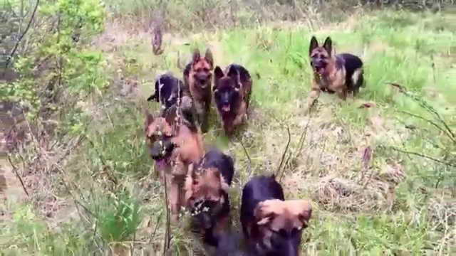 German Shepherd Pack