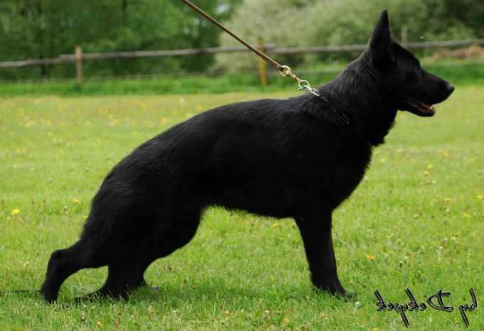 German Shepherd Pedigree Database