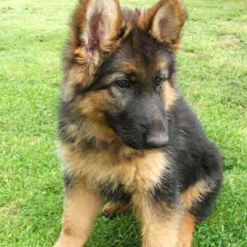 German Shepherd Pedigree