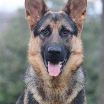 German Shepherd Petfinder